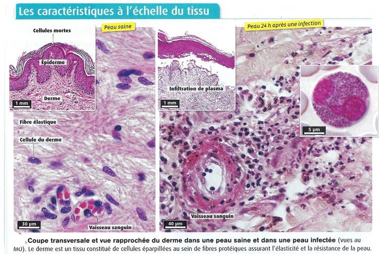 LES CELLULES INFLAMMATOIRES PDF DOWNLOAD