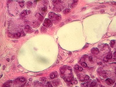 rôle exocrine et endocrine